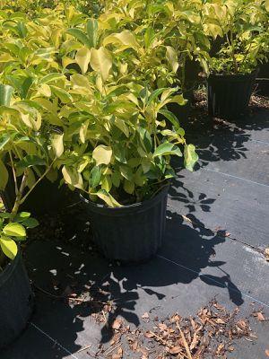 Trinette Schefflera arboricola 7 gallon for Sale in Miami, FL
