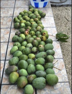 GREEN MANGOES DELICIOUS ORGANIC $1 🥭🥭🥭🥭🥭🥭 for Sale in Miami Springs, FL