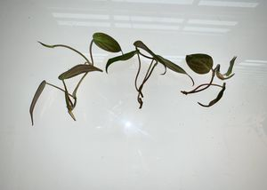 Philodendron micans unrooted cutting for Sale in Upper Marlboro, MD