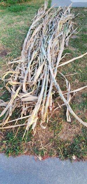 Free sugar cane plant for Sale in Santa Ana, CA