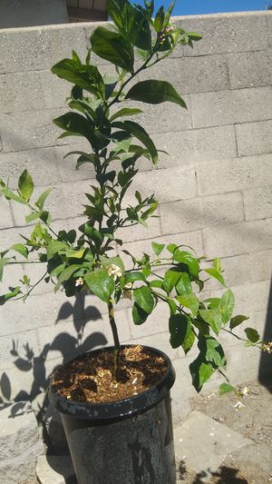 Meyer Lemon 2 in 1 Key Lime for Sale in Compton, CA