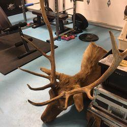 5x5 Bull Elk Shoulder Mount For Sale $500 for Sale in North Bend,  WA