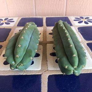 Cactus Plant Cuttings San Pedro Trichocereus for Sale in Chandler, AZ