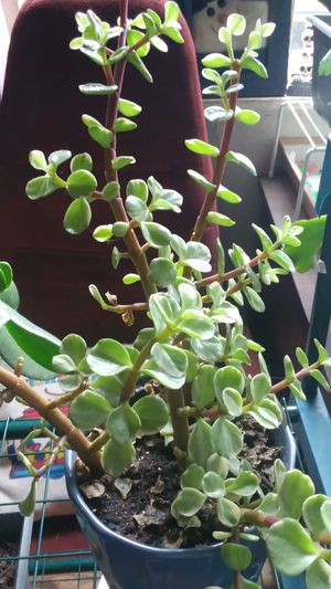 Succulent for Sale in Chicora, PA