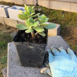 Jade Plant for Sale in Vallejo,  CA