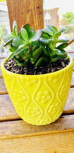 Live indoor Jade house plant in a textured ceramic planter flower pot—firm price for Sale in Seattle, WA