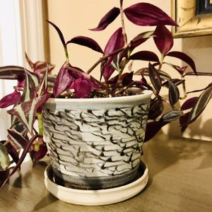 Tradescantia zebrine petsafe house plant in a textured flower pot . for Sale in Everett, WA