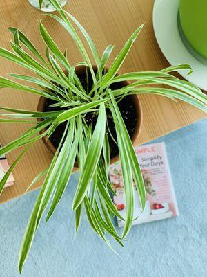 Plant + pot for Sale in Miami, FL