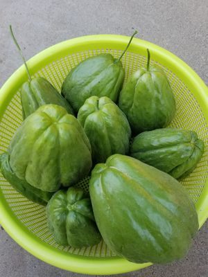 Home grown organic Chayote for Sale in Hayward, CA
