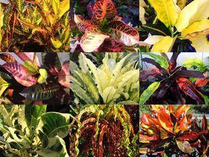 Croton Plants for Sale in Apopka, FL