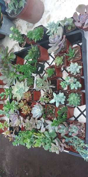 Succulent plants for Sale in San Marcos, CA