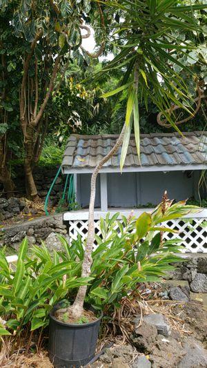 Cool tree for Sale in Kailua-Kona, HI