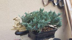 Bonsai juniper blue color for Sale in Fresno, CA