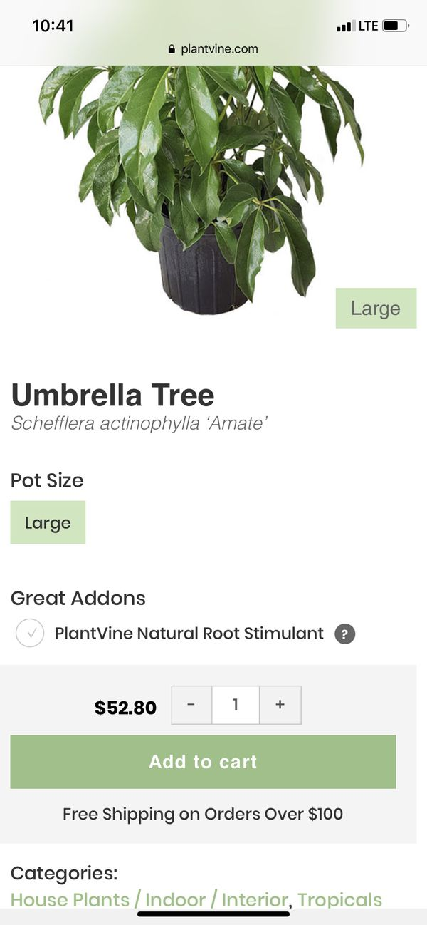 "BEAUTIFUL EASY TO TAKE CARE ""UMBRELLA TREE """