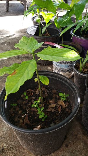 Avocado seedlings for Sale in Hollywood, FL