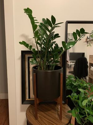 Healthy zz plant in West Elm pot and stand for Sale in Brooklyn, NY