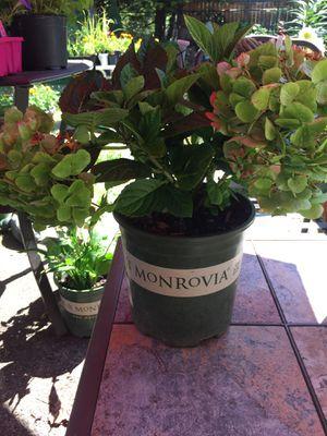 Hydrangea plants for Sale in Gresham, OR