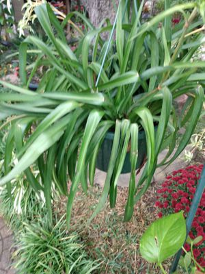 Nice plant$16 for Sale in Grand Prairie, TX