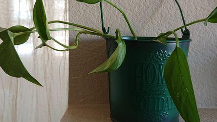 Healthy Indoor plant (pothos) for Sale in Arvada,  CO