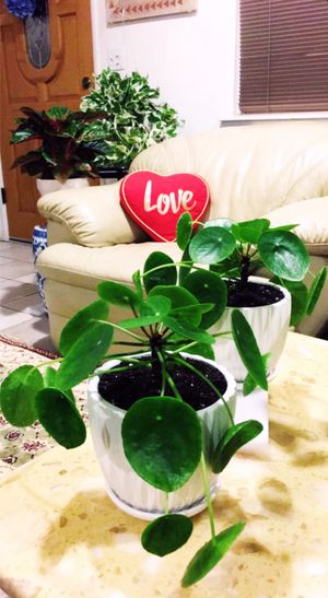 Lucky Chinese Money Plants - Pilea Peperomioides Plants - Indoor Plant - $15each for Sale in Garden Grove, CA