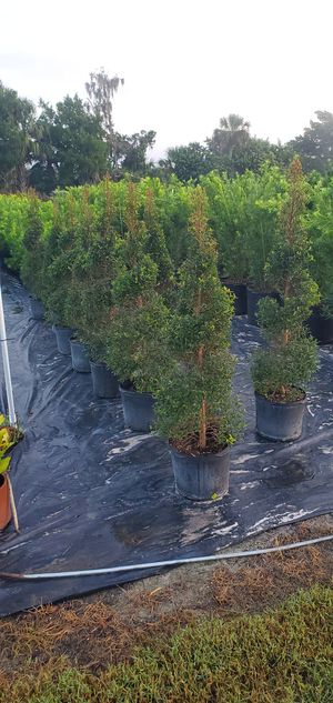 4-5ft topiary trees for Sale in Oviedo, FL
