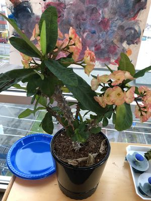 Crown of thorns plant for Sale in Tacoma, WA