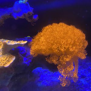 Aquarium Live Coral For Sale Goniopora Colony for Sale in Los Angeles, CA