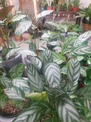 "6""calathea gray start plants for Sale in Ontario, CA"