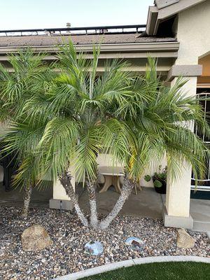 Pigmy Date Palm for Sale in Murrieta, CA