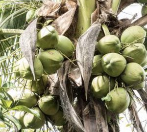 Cheap or free coconut removal for Sale in Fort Lauderdale, FL