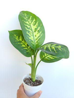 Dieffenbachia Dumb Cane plant for Sale in La Mirada, CA