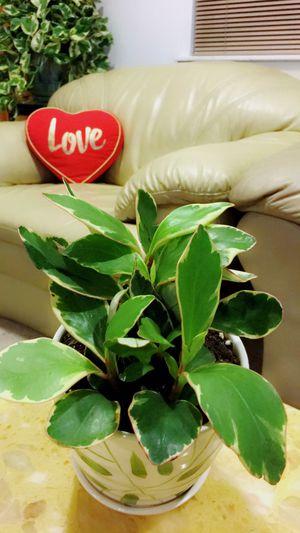 Peperomia Promo - Indoor Plant for Sale in Garden Grove, CA