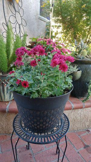 "Chrysanthemum Plant ""Beth Violet"" for Sale in Westminster, CA"