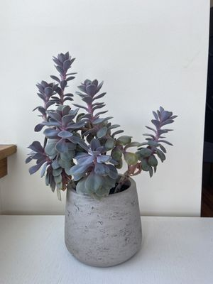 "Succulent Plant - 14""tall - with a cement pot for Sale in New York, NY"