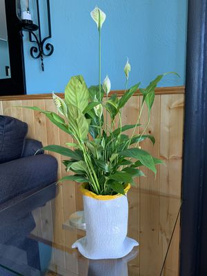 Beautiful peace lily plant, comes in a fun ceramic pot for Sale in Edgewater, CO