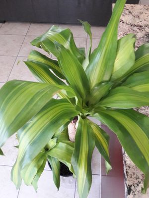 Dracaena cane for Sale in North Las Vegas, NV