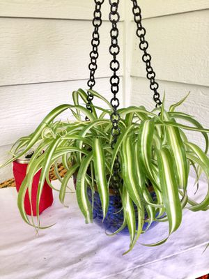 Real Indoor Houseplant - Spider Plants in Blue Hanging Ceramic Planter Pot for Sale in Auburn, WA