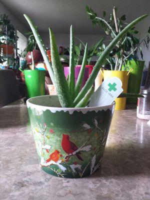 Aloe Vera plant for Sale in Aurora, CO