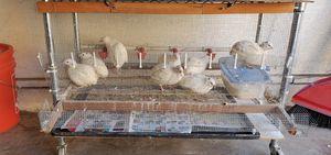 Quail eggs for Sale in Pico Rivera, CA