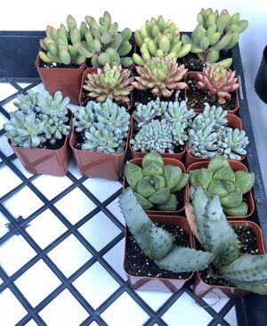 """2"""" succulents for Sale in Long Beach, CA"""