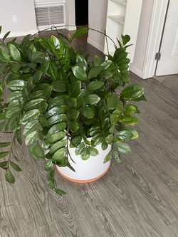 """Very Big """"money Tree"""" Plant for Sale in Los Angeles,  CA"""