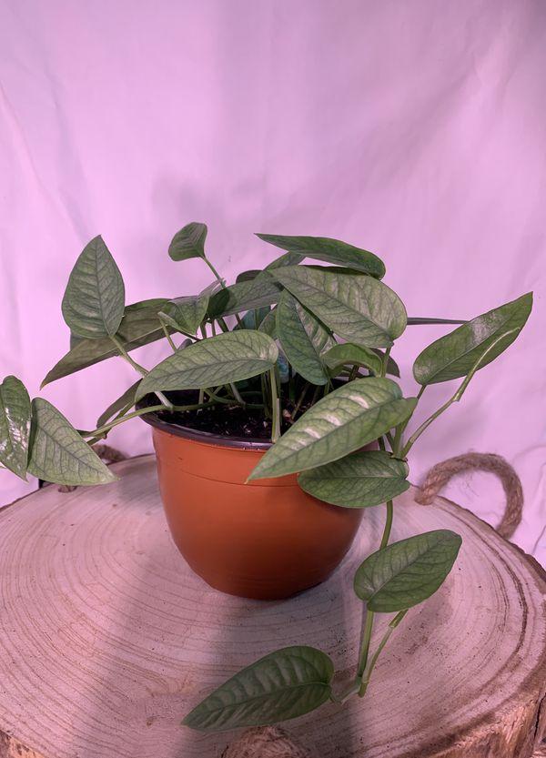 "6"" Cebu Blue Pothos Epipremnum pinnatum"