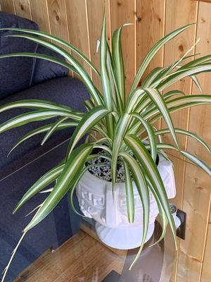 Beautiful and healthy spider plant for Sale in Lakewood, CO