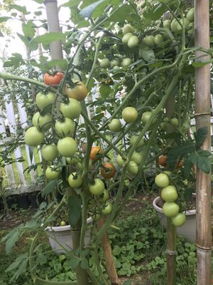 Tomato plants for Sale in Falls Church, VA
