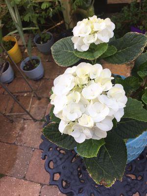 Lime Hydrangea in Ceramic Pot for Sale in Poinciana, FL