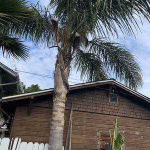 Palm Trees 25ft+ for Sale in Oakland, CA