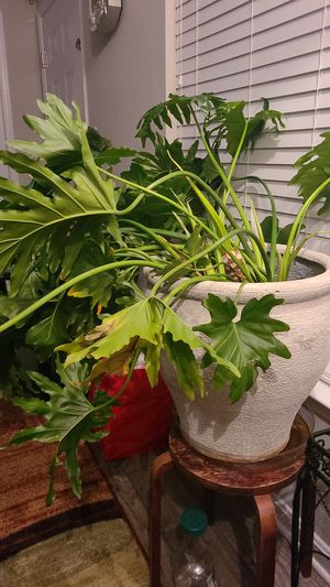 Live house plant for Sale in Joppa, MD