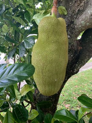All Natural, Jackfruit 30 pounds, Almost ripe for Sale in North Miami, FL