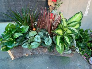 Plantas de sombra grandes en troncó Xgrande for Sale in Bell, CA