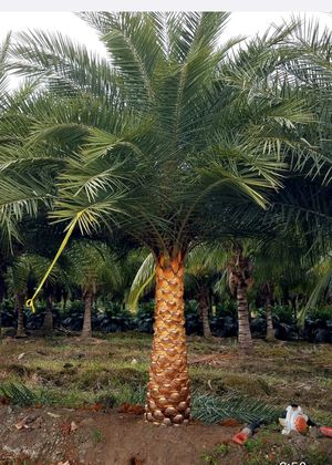 Sylvester palm for Sale in Hialeah, FL